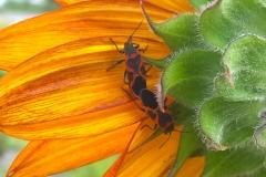 milkweed-bugs